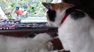 Битва кошек Моти и Ёлки за место на столе!
