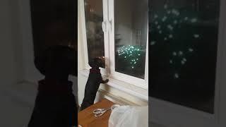 Когда твои животные любят фейерверки