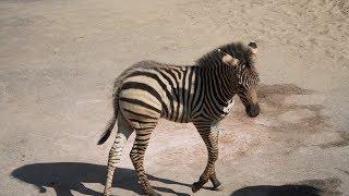 День рождения зебренка в нижегородском зоопарке «Лимпопо»