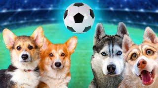 ФУТБОЛ. КОРГИ ПРОТИВ ХАСКИ!! (Корги Коржик) Говорящая собака