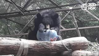 Показательное кормление Гималайских медведей в Новосибирском зоопарке имени Р.А.Шило
