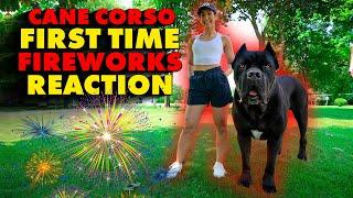 Cane Corso FIRST TIME Fireworks SCARE Attempted DOG ATTACK!