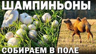 ГДЕ  БЫСТРО СОБРАТЬ МНОГО Шампиньонов! ВЕРБЛЮДЫ В РУССКОМ ПОЛЕ! ШАМПИНЬОНЫ В СМЕТАНЕ НА СКОВОРОДЕ!