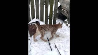 Под Петербургом в Агалатово поймали рысь. Near St. Petersburg in Agalatovo caught lynx.