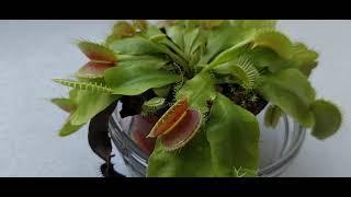 Венерина мухоловка питание, растение хищник.