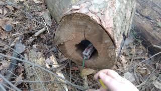 Самая мощная петарда разрывает дерево