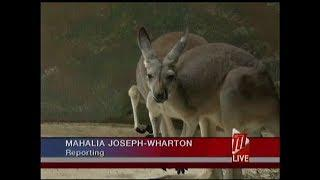 Independence Fireworks Blamed For Kangaroo's Death At Emperor Valley Zoo
