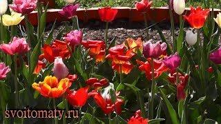 Цветение тюльпанов после ранней выкопки луковиц